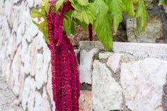 Amaranthus τα λουλούδια Caudatus, γνωστά ως αγάπη βρίσκονται αιμορραγώντας Κόκκινος διακοσμητικός αμάραντος στον κήπο οδών Στοκ Εικόνες