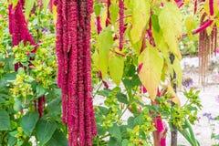 Amaranthus τα λουλούδια Caudatus, γνωστά ως αγάπη βρίσκονται αιμορραγώντας Κόκκινος διακοσμητικός αμάραντος στον κήπο οδών Στοκ Φωτογραφία