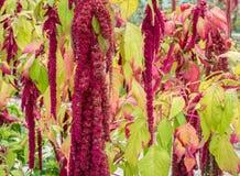 Amaranthus τα λουλούδια Caudatus, γνωστά ως αγάπη βρίσκονται αιμορραγώντας Κόκκινος διακοσμητικός αμάραντος στον κήπο οδών Στοκ Εικόνα