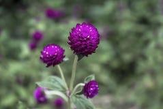 Amaranthus Стоковые Изображения RF