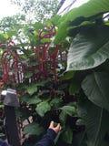 Amaranthus Obraz Royalty Free