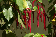 Amaranthus caudatus Stock Photo
