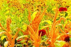 Amaranthus caudatus Stock Images