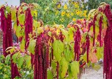 Amaranthus Caudatus flowers, known as Love Lies Bleeding. Red decorative amaranth on the street garden Stock Photo