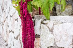 Amaranthus Caudatus flowers, known as Love Lies Bleeding. Red decorative amaranth on the street garden Royalty Free Stock Images