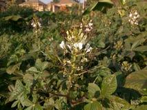 Amaranthus & x28;Dodo& x29; kampala, uganda royalty free stock image