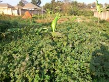 Amaranthus & x28; Dodo& x29; kampala, Oeganda Royalty-vrije Stock Foto's