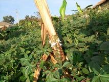 Amaranthus & x28; Dodo& x29; kampala, Oeganda Royalty-vrije Stock Afbeelding