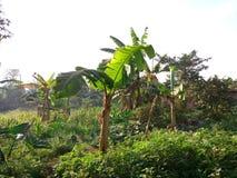 Amaranthus & x28; Dodo& x29; kampala Uganda arkivbild
