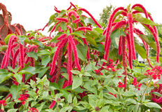 Amaranthus flowers Royalty Free Stock Image