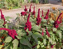 Amaranthus gangeticus or Elephant Head growing in an English country garden royalty free stock photo