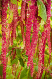 Amaranthus (Love-Lies-Bleeding) Royalty Free Stock Photos