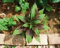 Amaranthus Tricolor royalty-vrije stock afbeeldingen