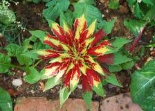Amaranthus Tricolor Fotografia Stock