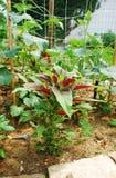 Amaranthus Tricolor Stock Foto's