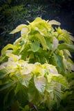 Amaranthus tricolor `Early Splendor`. Plants in Centara hotel, Krabi province, Thailand Stock Image