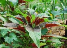 Amaranthus Tricolor Stock Images