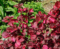 Amaranthus tricolor plants Royalty Free Stock Images
