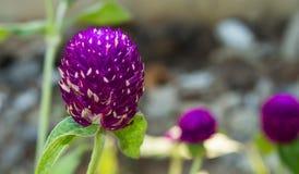 amaranto de globo Imagen de archivo libre de regalías