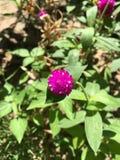 amaranto de globo Imagen de archivo