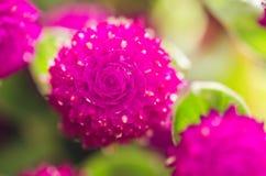 Amaranto de globo o flor del botón del soltero fotografía de archivo