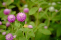 Amaranto de globo o flor del botón del soltero en el jardín fotos de archivo