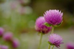 Amaranto de globo o flor del botón del soltero en el jardín fotografía de archivo