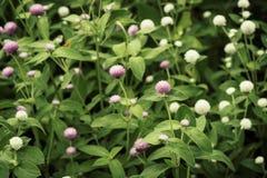 Amaranto de globo o flor del botón del soltero en el jardín fotos de archivo libres de regalías