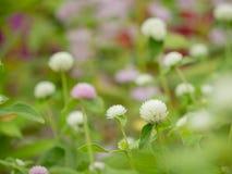 Amaranto de globo o flor del botón del soltero en el jardín fotografía de archivo libre de regalías