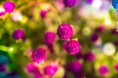 Amaranto de globo o globosa púrpura del Gomphrena Imagen de archivo libre de regalías