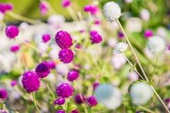 Amaranto de globo o globosa púrpura y blanco del Gomphrena Fotografía de archivo