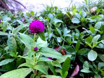 Amaranto de globo púrpura Imagen de archivo