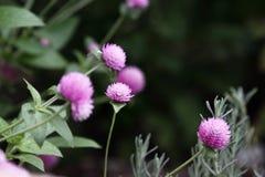 Amaranto de globo que crece en un jardín de flores Fotografía de archivo libre de regalías