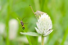 Amaranto ed insetto Fotografia Stock Libera da Diritti
