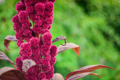 Amaranto hermoso (lat : Flor púrpura del nthus del ¡de AmarÃ) en el jardín Imágenes de archivo libres de regalías