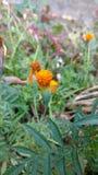 Amaranto indiano com sementes Fotografia de Stock Royalty Free
