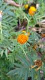 Amaranto indiano com sementes Imagens de Stock Royalty Free