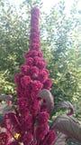 Amaranto na cama de flores Foto de Stock Royalty Free