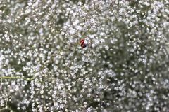 Amaranto, respiro dei bambini, gypsophila paniculata, sfondo naturale astratto, erbaccia della pianta nel campo Immagini Stock Libere da Diritti