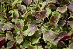 amaranto Tre-colorato Fotografia Stock
