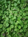 Amaranto tricolor Imagenes de archivo
