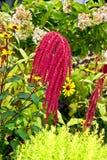 amarantowa roślina obrazy royalty free