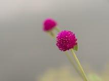 Amarantowi kwiaty Zdjęcie Stock