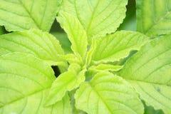 Amarantus photos stock