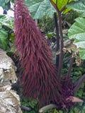 Amarantus Caudatus fleurit, connu pendant que l'amour se trouve saignant Photo libre de droits