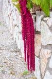 Amarantus Caudatus fleurit, connu pendant que l'amour se trouve saignant Amaranthe décorative rouge sur le jardin de rue Image stock