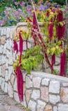 Amarantus Caudatus fleurit, connu pendant que l'amour se trouve saignant Amaranthe décorative rouge sur le jardin de rue Photos stock