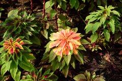 Amarantus tricolore Photographie stock libre de droits