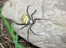 Amarele a aranha traseira Fotografia de Stock