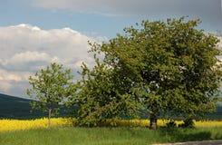 Amarele campos Imagem de Stock Royalty Free